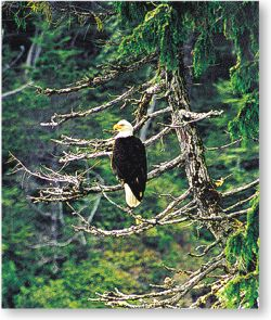 birding -eagles can be easily spotted perching nearby