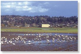 birding -Trumpeter swans over wintering in the Comox Valley
